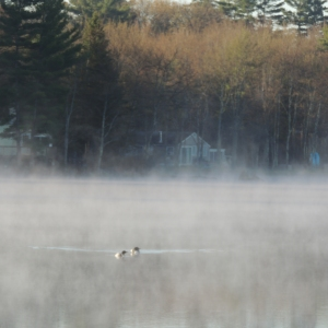 Lake Loons in the morning mist 001