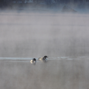Lake Loons in the morning mist 002