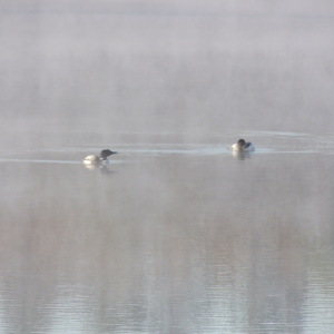 Lake Loons in the morning mist 003