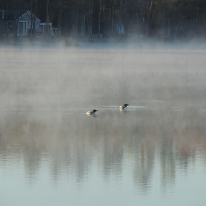 Lake Loons in the morning mist 004