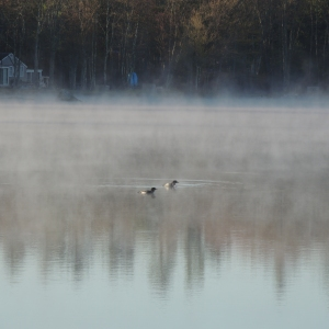 Lake Loons in the morning mist 005