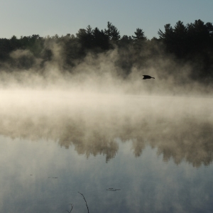 Lake Loons in the morning mist 008